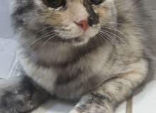 قطه شيرازية انثى للبيع