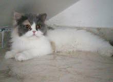 قطة ذكر للبيع