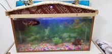حوض سمك  3 ازواج سمك  وزوج كناس
