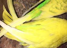 طيور البقلينو بالقفص