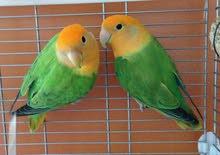 طيور حب اورينج اوب لاين جاهزات للأنتاج Orange Oplaline Love Bird Ready