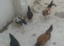 ثلاث دجاج وديكين