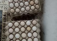 بيض عربي وفيومي