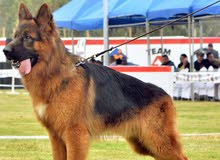 german shepherd for mating