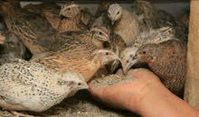 QUAIL birds for sale