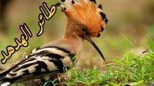 مطلوب طيور هدهد