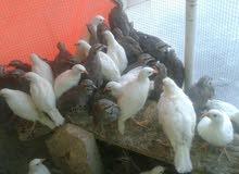 حجل للبيع طيور شنار