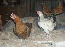 مطلوب دجاج عربي عمره 8 او 9 شهور
