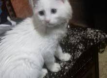 قطه شراز للبيع شبه متعلمه بسعر مغري