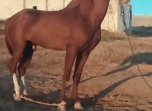 احصان ولد السكب