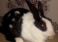 أرانب بلدي للبيع جودة ممتازة