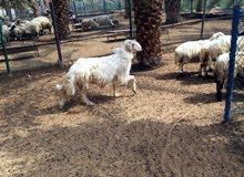 خروف نجدي مقرن