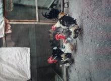 دجاج قزم لاصلي زاخف بيع بيض دجاج قزم بيض مخصب السعر البيضه ع للفين او نص الواحده