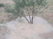 قطعة ارض بها اكثر من 100 اصل زيتون