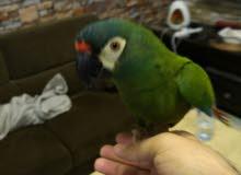 اليغر ماكاو illger macaw.. حجم حامبو
