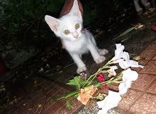 قط شيرازي هجين
