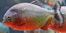 مطلوب سمكة فلور هون او بيرانا
