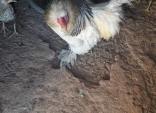 دجاجه وفروج براهمه للبيع