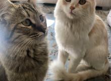 قطتين اناث للبيع