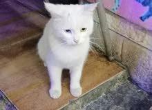 قطة اليف انثى للبيع