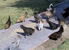 Chicken for Sale دجاج الحبحب