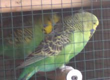 2 holland budgie pairs for sale