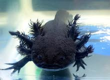 Black female Axolotl with her things (9 things)