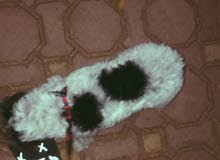 كلب مالتيز انثى