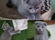 سكوتش فولد كيتن اناث وذكور  scotch fold kitten
