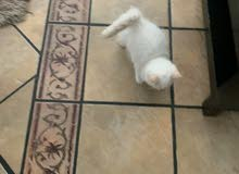 Baby Persian cat - 2 months old