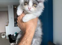 Persian-shirazi male cat 4months months
