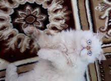 قط هملايا مستوى عالي جدا