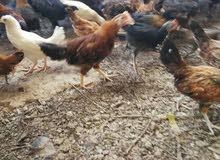 دجاج عماني كبير \ بياض