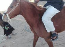 حصان اصيل للبيع ع سوم