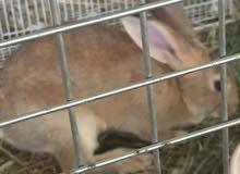 ارنب ذكر هولندي ارغب بلبدل بانثى هولنديه