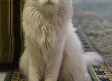 قطط شيرازية للبيع ب 30 ريال