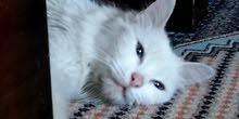 قط شيرازي ابيض لون عيونه ازرق للبيع