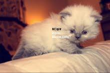 قطط هملايا للبيع  بسعر مناسب بجدة