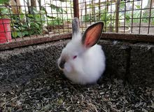 ارانب هولنديه جميله وبصحه ممتازه.. واحد عيونه حمر