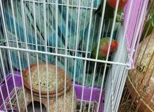 طيور الحب للبيع بشكل مستعجل