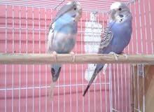 طيور بادجي( الحب ) للبيع