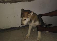 كلاب هجينا هاسكي. Haskey Hybrid Dog