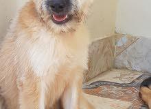 كلب تريري مدرب للبيع