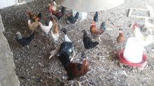 دجاج عمانيات بياض
