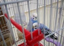 عصافير حب ، طيور بادجي