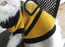 قطة شيرازي