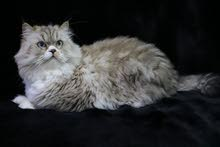 Himalaya moon face female cat