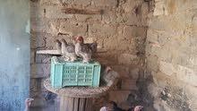 ديك رومي ودجاج استرالي
