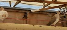 حمام ياكريم وحمام الحقم البر للبيع