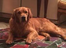 (للتزاوج- للتلقيح) كلب ذكر قولدين ريتريفر